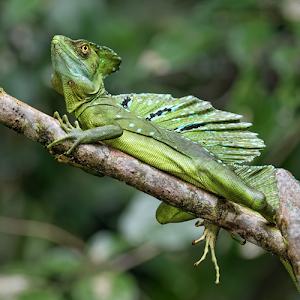 Basilik lizard #2round2photoshopresizesharpen17cropadjust-003.jpg