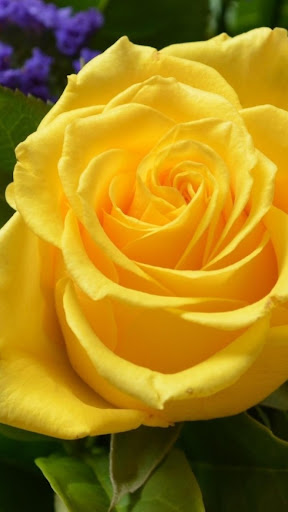 Yellow rose.Live wallpaper