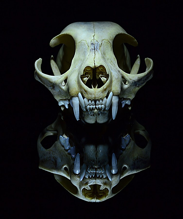 SKUL OF by Angelo Jadulco - Artistic Objects Other Objects ( black background, skull, reflection, cat, nirrored )