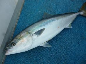 Photo: 魚だけの写真・・・という事は、船頭さんのキャッチした魚!残念ながらヤズでございました。