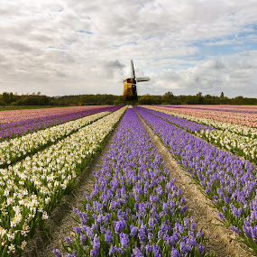 Tulip Field by Aamir DreamPix - Flowers Flower Gardens ( uk, europe, tulip garden, tulip, amsterdam, tulips, flowers, flower,  )