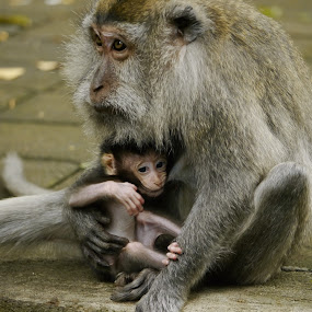 Nursing Macaque by Richard Beckmann - Animals Other Mammals