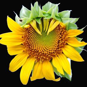 Sunflower by SANGEETA MENA  - Flowers Single Flower (  )