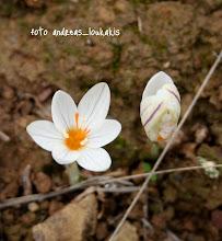 Photo: Crocus laevigatus   Το Crocus laevigatus εμφανίζει ποικιλία στο μέγεθος και το χρώμα του άνθους καθώς και στην περίοδο ανθοφορίας. Στην Κρήτη τα άνθη είναι άσπρα με ή χωρίς πορφυρές ραβδώσεις, στις Κυκλάδες απαντώνται κυρίως λιλά άνθη και στην ηπειρωτική χώρα απαντώνται και τα δύο. Παρουσιάζει, επίσης, μεγάλη διάρκεια ανθοφορίας από το φθινόπωρο μέχρι νωρίς την άνοιξη. Ανθοφορεί κυρίως το φθινόπωρο αλλά σε μερικά νησιά των Κυκλάδων η ανθοφορία καθυστερεί αρκετά. Φύεται σε βραχώδη και πετρώδη μέρη, αραιούς θαμνότοπους και βραχώδεις σχισμές, ενώ περιστασιακά σε τοποθεσίες με πεύκα, σε υψόμετρο 0-600 μ (στην Κρήτη φθάνει τα 1.500 μ.). Η περίοδος ανθοφορίας διαρκεί από τον Οκτώβριο έως και το Φεβρουάριο (- Απρίλιο  νησιά των Κυκλάδων η ανθοφορία καθυστερεί αρκετά