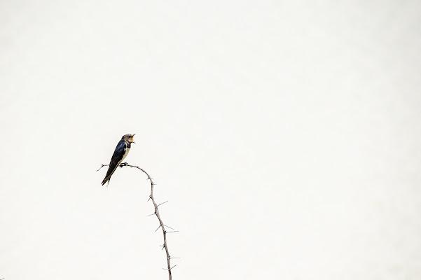 swallow minimal di Rickytre