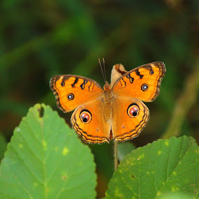Egg Eyed butterfly by Sid Yadav - Animals Insects & Spiders ( butterfly, nature close up, insects )