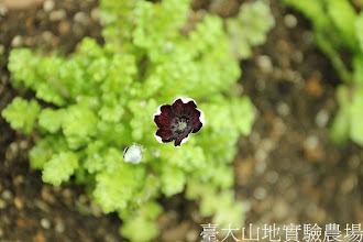 Photo: 拍攝地點: 梅峰-溫帶花卉區 拍攝植物: 粉蝶花(黑色) 拍攝日期:2013_01_07_FY