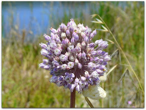 Photo: allium ampeloprasum (Ackerlauch) - Fundort: Ostsardinien