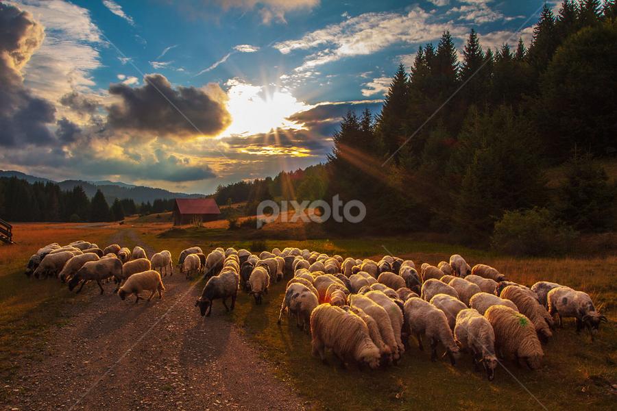 A flock of sheep going home by Stanislav Horacek - Landscapes Prairies, Meadows & Fields