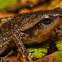 Speckled Sticky Frog