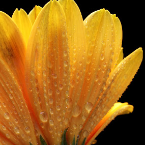 Yellow Beauty Flower  by Benyamin Kristiawan - Nature Up Close Flowers - 2011-2013 ( yellow, flower petal, flower, yellow flower, petal,  )
