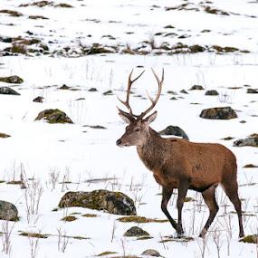 scottish deer by Giorgio Baruffi - Animals Other Mammals ( handa, scotland, scozia, scogliere, viaggi, panorami, sopralluoghi, highlands, landscapes )