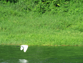 Photo: A great egret soars over Lake Arenal