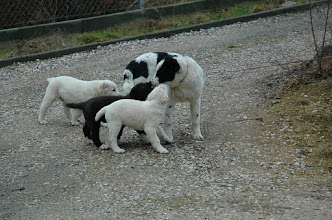 Photo: cuccioli a 66 gg con la BAIRA (NAGYSH x VESTA) di 6 mesi