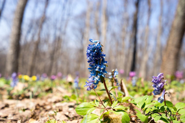 鮮やかなブルーに染まるエゾエンゴサク