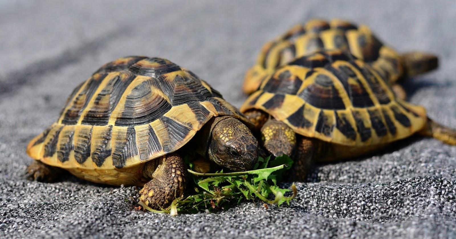 A few tortoises eating letuce