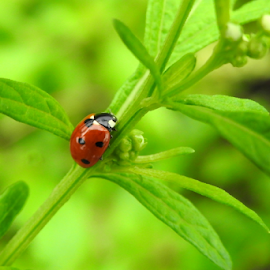 Lady in Red by Vivek Sharma - Animals Insects & Spiders ( vivekclix, polka dots, red, bugs, nature, green, vivek, beauty in nature, lady bug, insects,  )