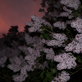 Lilacs at Night by J.c. Phelps - Flowers Tree Blossoms ( lilacs )