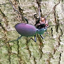 Narrow-collared Snail-eating Beetle