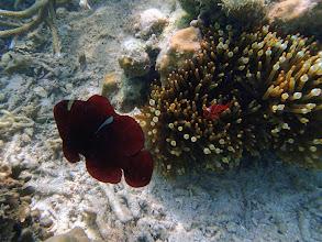 Photo: Premnas biaculeatus (Maroon Clownfish), Chindonan Island, Palawan, Philippines.