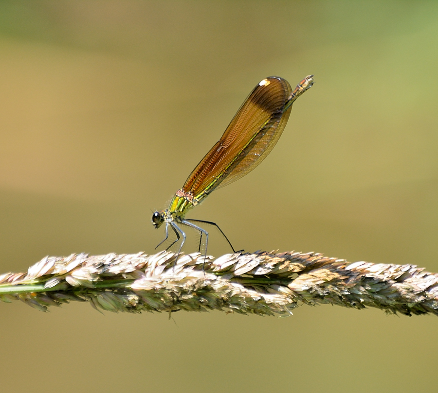 Copper Demoiselle by Ricardo Costa - Animals Insects & Spiders ( copper, damselfly, odonata, portugal,  )