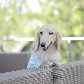 by Bobby Dozan - Animals - Dogs Portraits ( dachshund, pet, longhair, dog, animal )