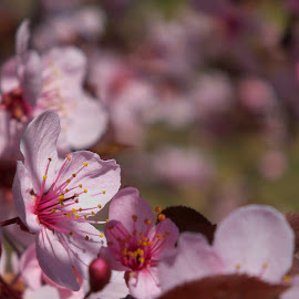 by Nicolaie Subotin - Flowers Tree Blossoms