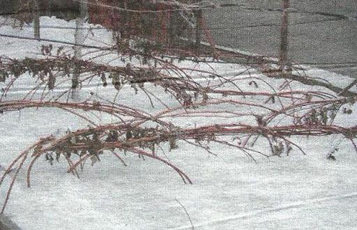 Защита малины от зимнего вымерзания