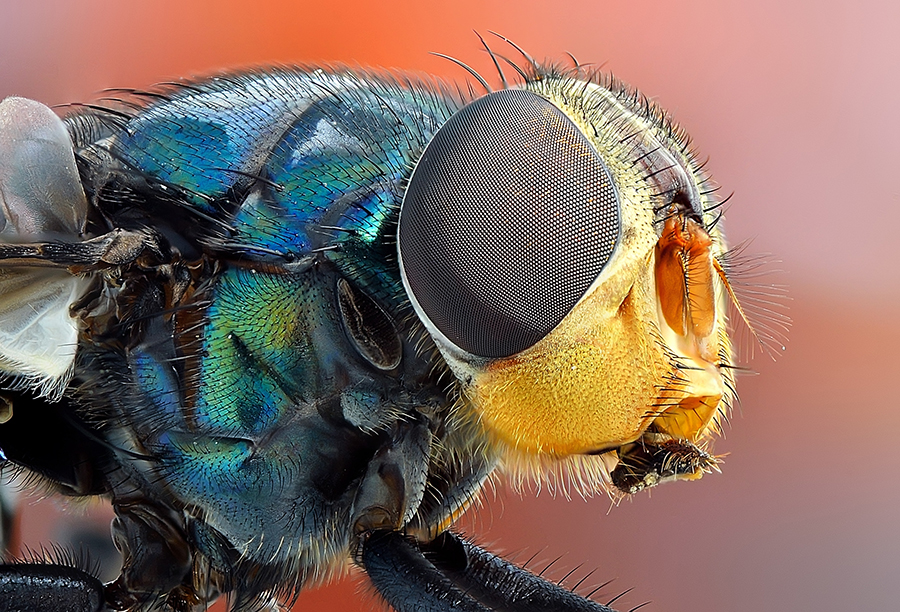 fly head by Rhonny Dayusasono - Animals Insects & Spiders ( pwcinsectsandspiders )