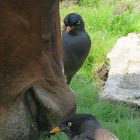 Jungle Mynah