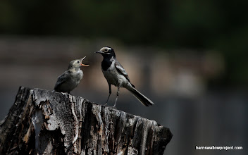 Photo: Notice the antennae poking out of the fledglings mouth