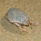 Pacific Mole Crab