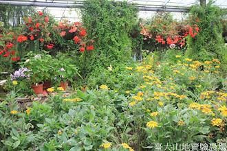 Photo: 拍攝地點: 梅峰-溫帶花卉區 拍攝植物: 金光菊(黃) 球根秋海棠(紅) 拍攝日期: 2015_09_07_FY