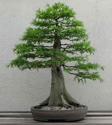 盆栽の木のアイデアのおすすめ画像2