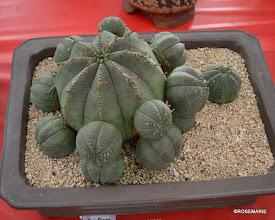 Photo: Euphorbia obesa x meloformis