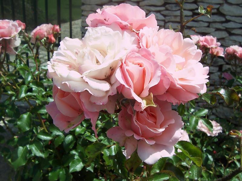 Delicatezza nelle rose di Pretoriano