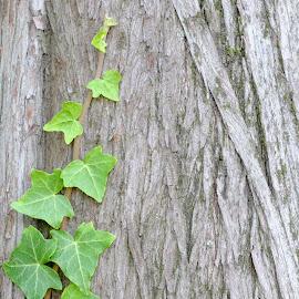 Ivy by Catherine Guerenne - Nature Up Close Leaves & Grasses ( green, parc de la tête d'or, leaves, ivy, lierre )
