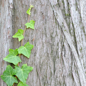 Ivy by Catherine Guerenne - Nature Up Close Leaves & Grasses ( green, parc de la tête d'or, leaves, ivy, lierre )