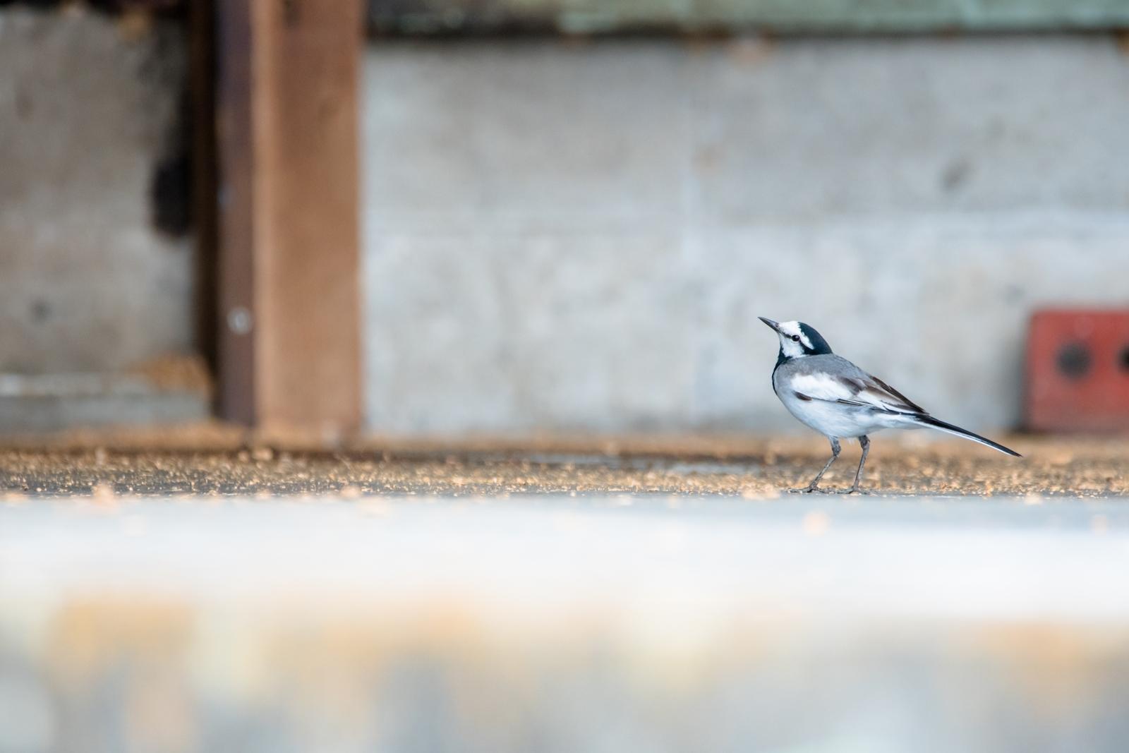 Photo: 「ご近所さん」 / neighbors.  気付くと近くを歩いてる ずっとそばにいるご近所さん とても好奇心いっぱいで そーっと訪問しているよ  White Wagtail. (ハクセキレイ)  Nikon D500 SIGMA 150-600mm F5-6.3 DG OS HSM Contemporary  #birdphotography #birds #kawaii #ことり #小鳥 #nikon #sigma  ( http://takafumiooshio.com/archives/2687 )
