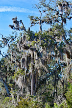 Photo: spanish moss isn't a moss, it's an epiphyte