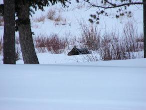 Photo: Moose #2