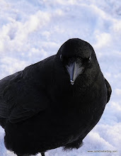 Photo: Up-close with a Northwestern Crow at the Seward harbor