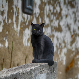 by Vukosava Radenovic - Animals - Cats Portraits (  )