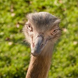 Big Eyes by Mike Hayter - Animals Birds ( head, eyelashes, beak, soulful, rhea, bird, eyes )