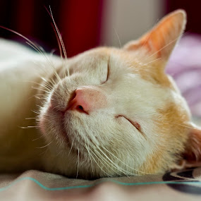 sleeping soundly by Andrian Andrew - Novices Only Pets ( cats, cat, pet )