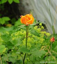 """Photo: Diese Rose wurde uns von Welpenkäufern geschenkt und wir freuen uns, dass sie wieder blüht.....die """"Elly-Rose"""""""