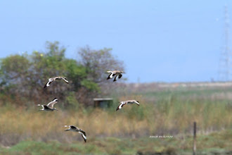 Photo: Willets