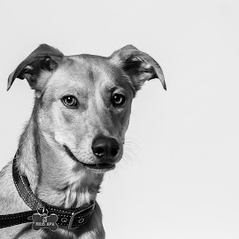 Hello....anybody there? by Vix Paine - Animals - Dogs Portraits ( australiandog, blackandwhite, rescuedog, puppy, dog, rescue )