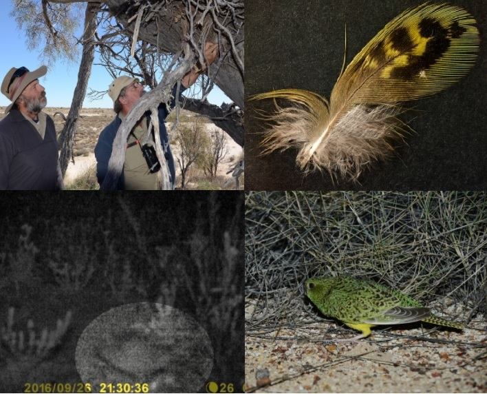 Top left: John Young and Keith Bellchambers examine the Wedge-tailed Eagle's nest and Zebra Finch nests. Top right: The Night Parrot feather. Bottom: Camera trap image on Kalamurina compared to John Young's photo of a Night Parrot during his initial re-discovery of the species in Queensland.