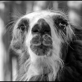 Llama by Dave Lipchen - Black & White Animals ( llama )